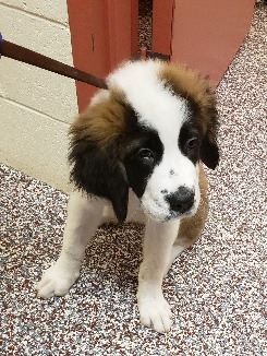 Saint Bernard Dog 4